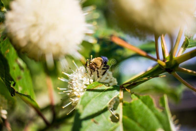 Biet på vit kastar snöboll blomman arkivbild