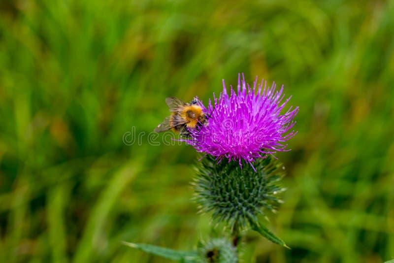 Biet pollinerar tisteln för fältväxtspjutet arkivfoton
