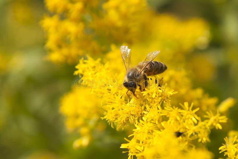 Biet samlar honung från kronblad royaltyfri foto
