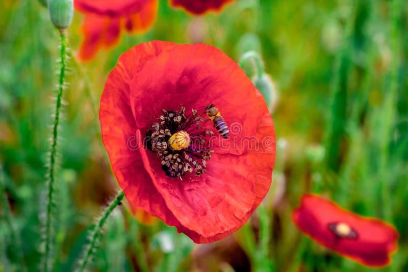 Biet samlar honung från vallmoblommor Röd popp för härligt fält fotografering för bildbyråer