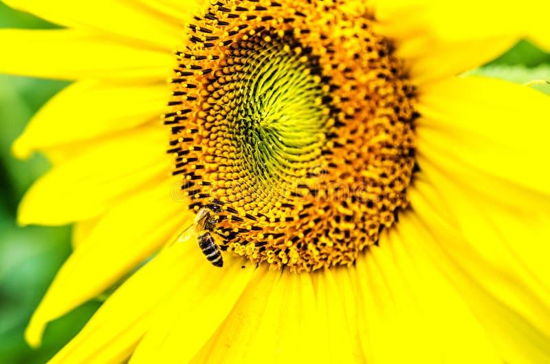 Biet samlar pollen från en härlig stor solros mot en bakgrund av grön lövverk royaltyfri bild