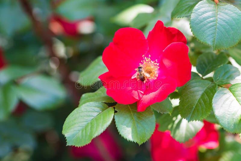 Biet sitter på den härliga röda dogroseblomman arkivfoto