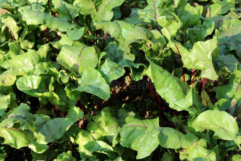 Bieten of Bèta vulgaris installaties met grote dikke bladeren en donkerrode stammen die in lokale tuin groeien royalty-vrije stock foto's