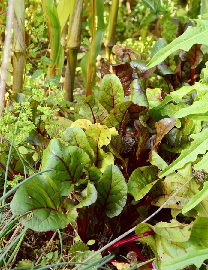 Bieten groeien omringd door saladebladeren stock afbeeldingen