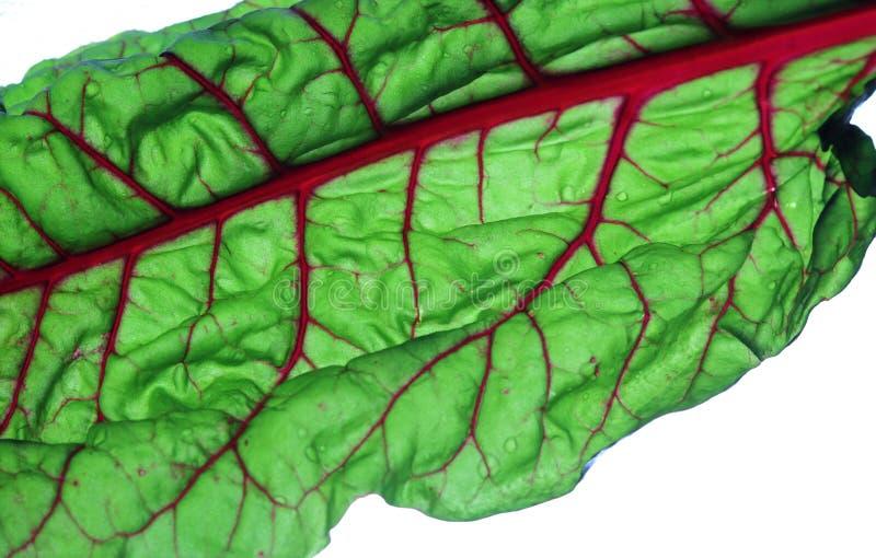 Bietola svizzera rossa variopinta luminosa, alimento fresco sano immagini stock