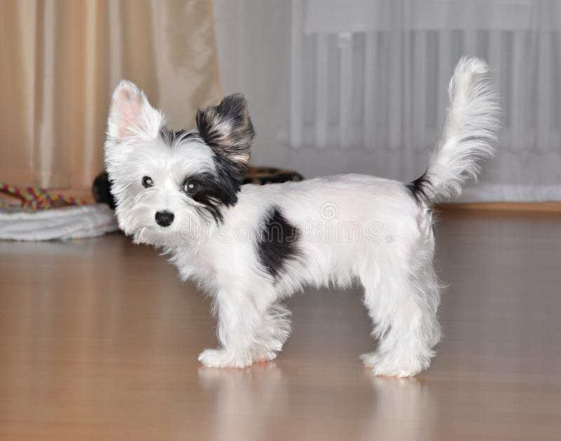 Biewer de terrier de Yorkshire de chiot images libres de droits