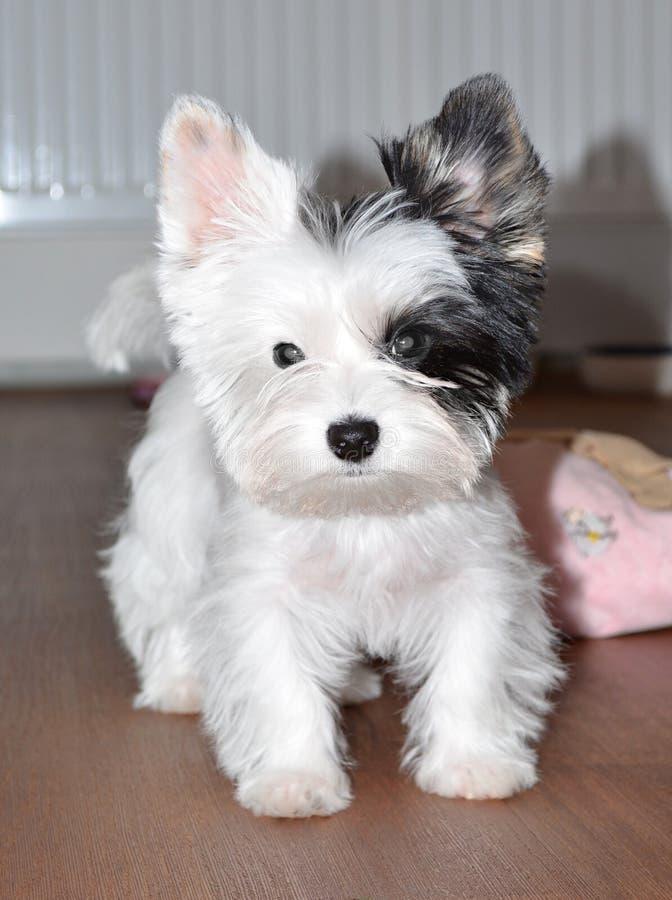 Biewer dell'Yorkshire terrier del cucciolo fotografia stock