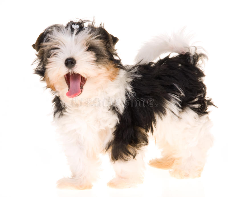 Biewer A La Pom Pon On White Background Royalty Free Stock Photography