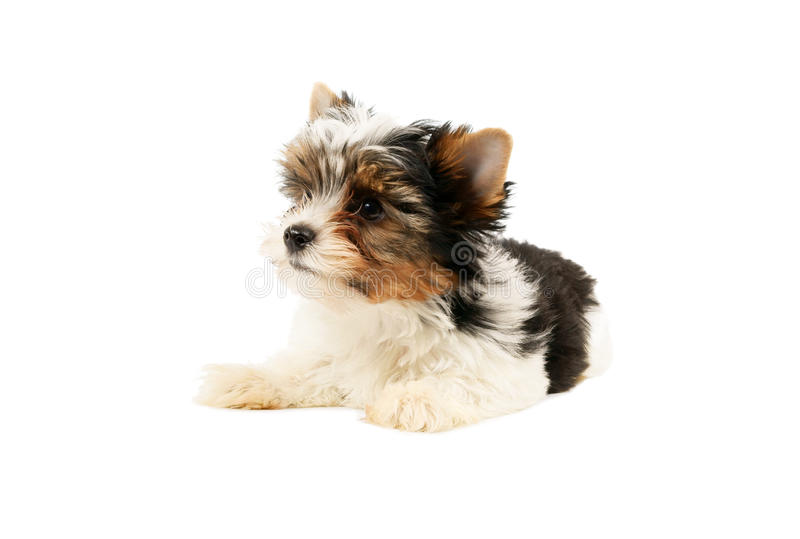 Biewer Terrier Puppy Isolated Royalty Free Stock Photos