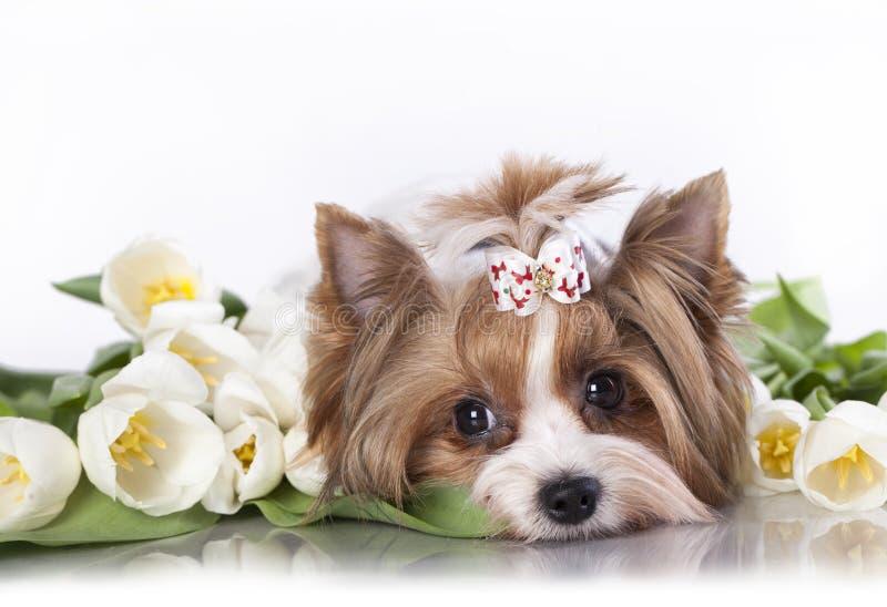 Biewer Terrier York fotografie stock