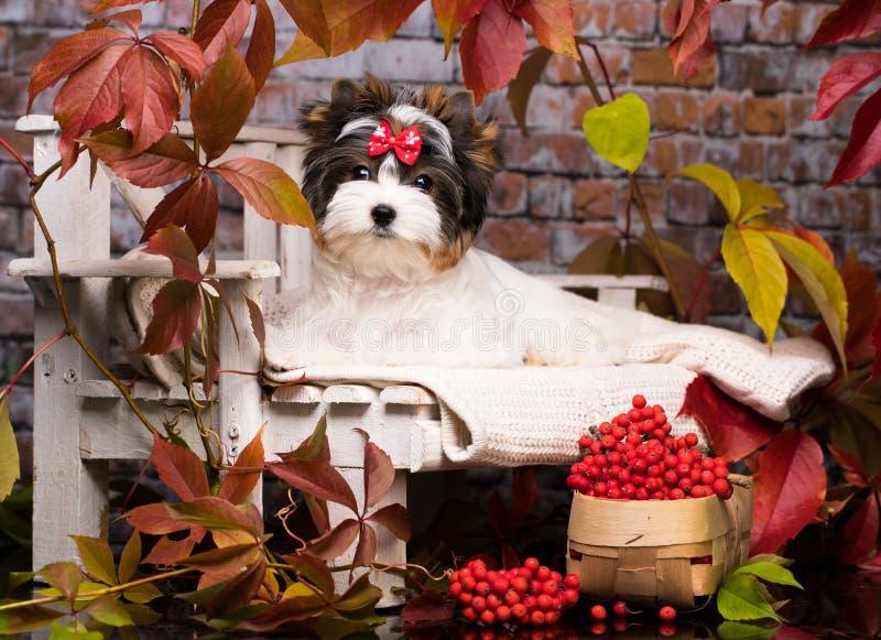 Biewer Yorkshire Terrier-herfst en rode lrowanbessen stock afbeeldingen