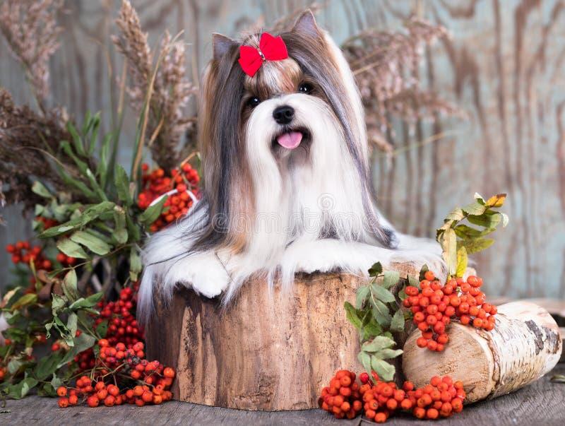 Biewer Yorkshire Terrier-herfst en rode lrowanbessen royalty-vrije stock afbeeldingen