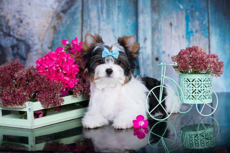 Biewer Yorkshire Terrier och blommor royaltyfri foto