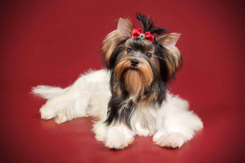 Biewer Yorkshire Terrier op gekleurde achtergronden royalty-vrije stock foto