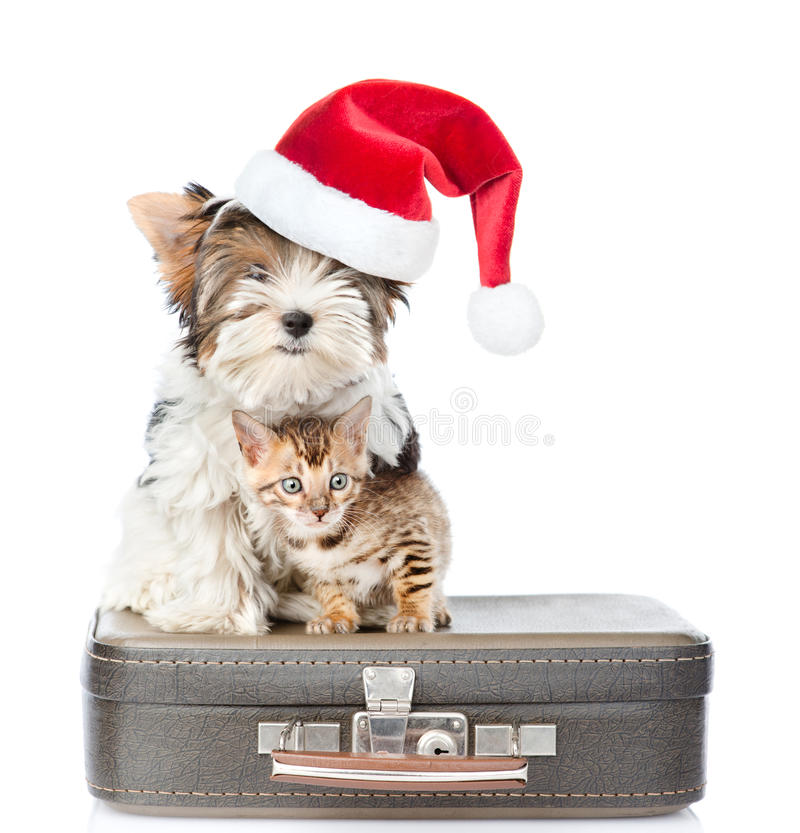 Biewer-Yorkshire terrier in red christmas hat and bengal cat sitting on a bag. on white background stock photography