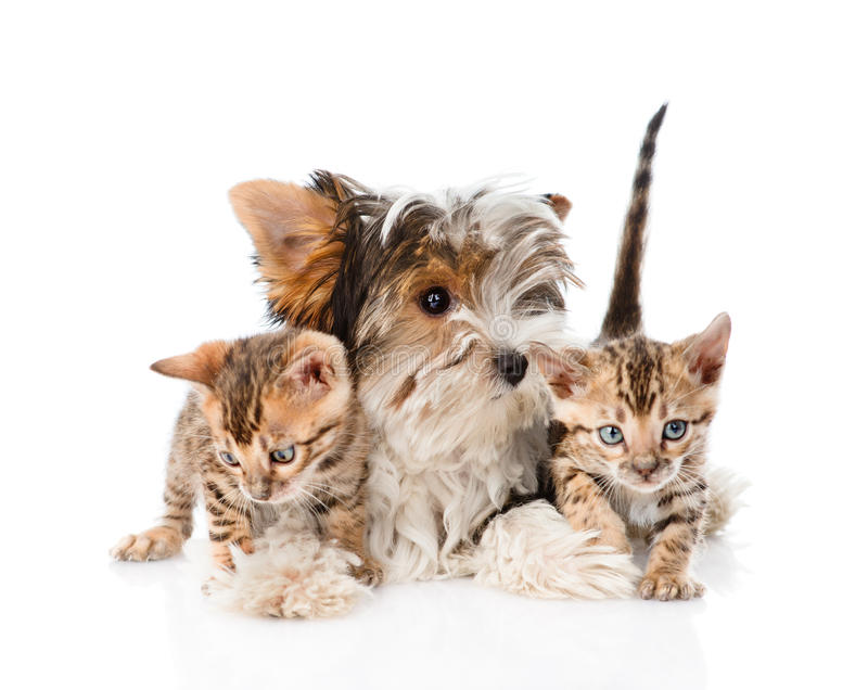 Biewer-Yorkshire terriervalp och två bengal kattungar isolerat royaltyfri bild