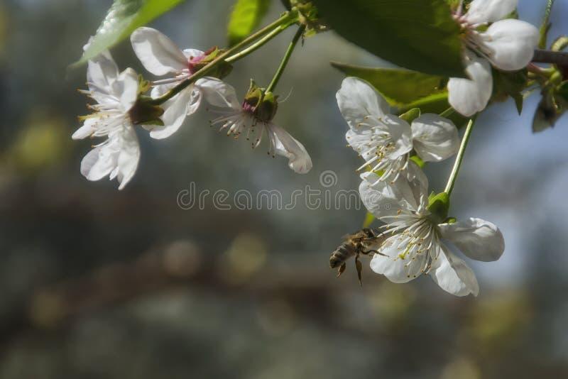 Biflugor nära den körsbärsröda blomningen royaltyfria foton