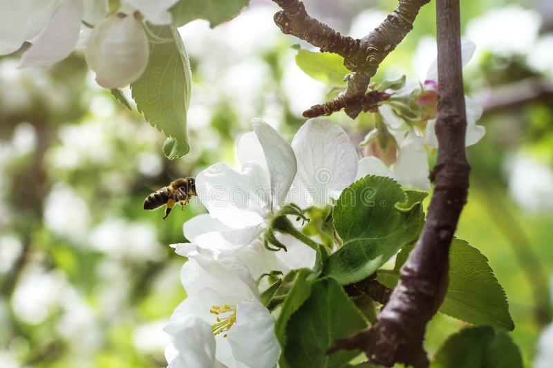 Biflugorna till äppleblomningen för pollination Närbild selektiv fokus Begreppet av en vår som blommar trädgården arkivbild
