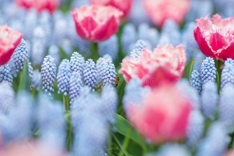 Biflyg bland rosa och vita tulpan och blå armeniacum för muscari för druvahyacinter Selektiv fokus, vårbegrepp royaltyfria bilder