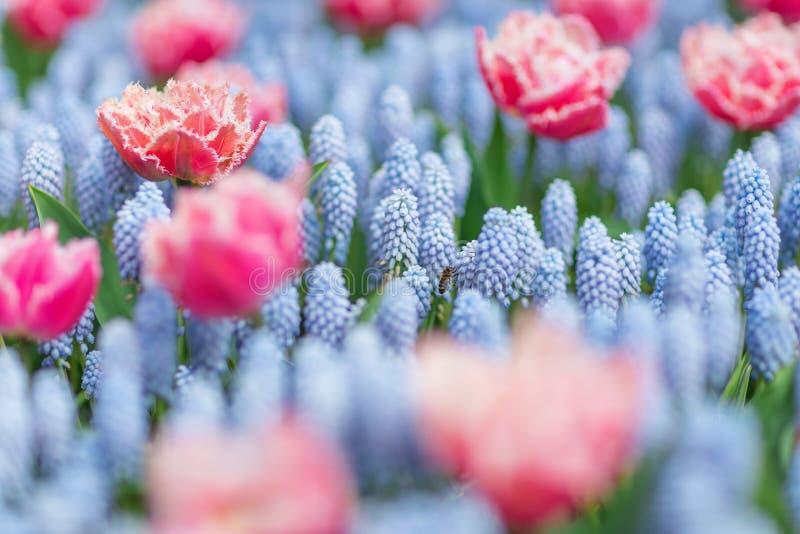 Biflyg bland rosa och vita tulpan och blå armeniacum för muscari för druvahyacinter Selektiv fokus, vårbegrepp royaltyfri foto