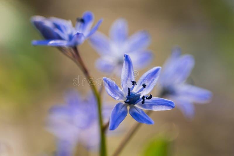 Bifolia de Scilla, esquila alpina, esquila de la dos-hoja foto de archivo libre de regalías