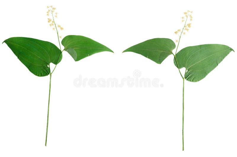 Bifolium pressé et sec de maianthemum de fleur D'isolement sur le blanc image stock