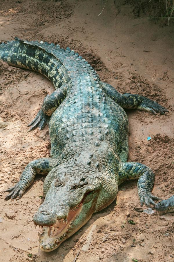 Big adult crocodile laying on the sand with open mouth with many theeth. Natural outdoor Zoo, Thailand. Colose up, copy space royalty free stock image