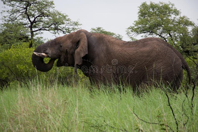 Download Big African Elephant stock image. Image of south, bull - 23647359