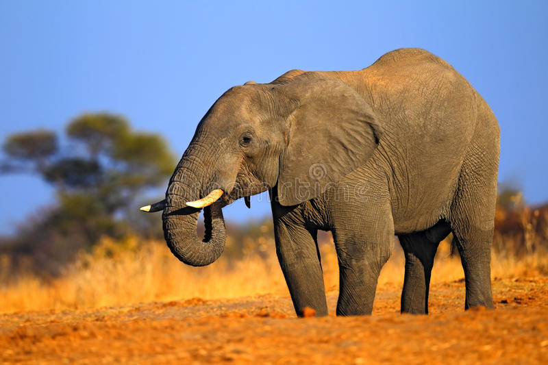 Big African Elephant, on the gravel road, with blue sky and green tree, animal in the nature habitat, Tanzania royalty free stock photo