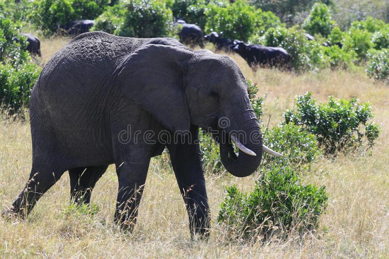 Big African elephant, Loxodonta africana, grazing in savannah in sunny day. Massai Mara Park, Kenya, Africa. Big African elephant, Loxodonta africana, grazing stock photos