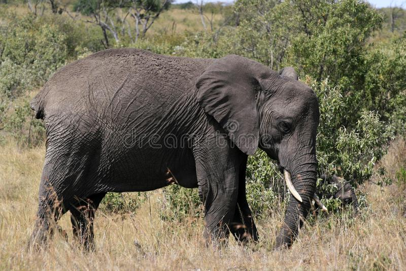 Big African elephant, Loxodonta africana, grazing in savannah in sunny day. Massai Mara Park, Kenya, Africa. Big African elephant, Loxodonta africana, grazing stock photo