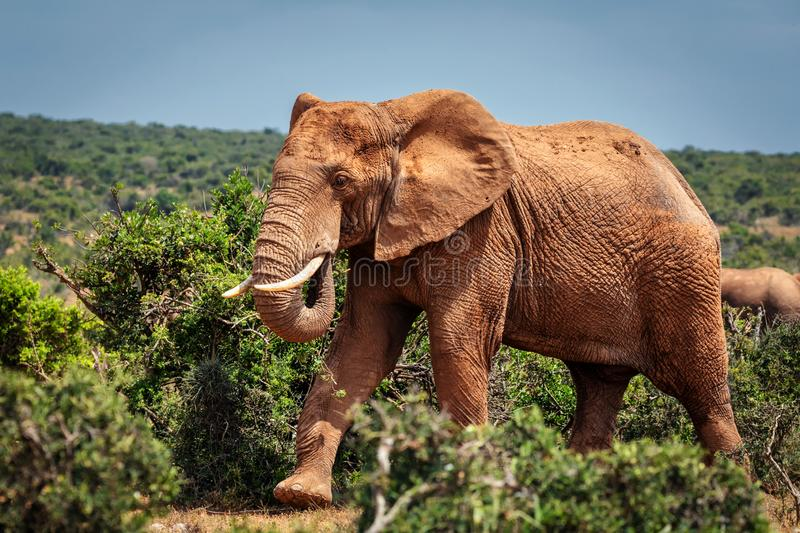Big African elephant walking in bushes of Addo National Park stock images