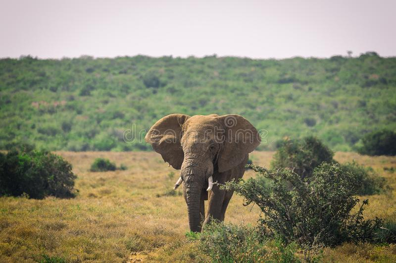 Big African elephant walking in bushes of Addo National Park stock photos