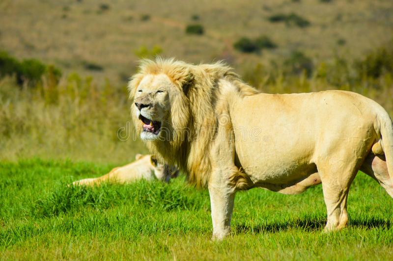 Big African white lion pride in Rhino and lion nature reserve in South Africa. Big African white lion in Rhino and lion nature reserve in South Africa stock photos