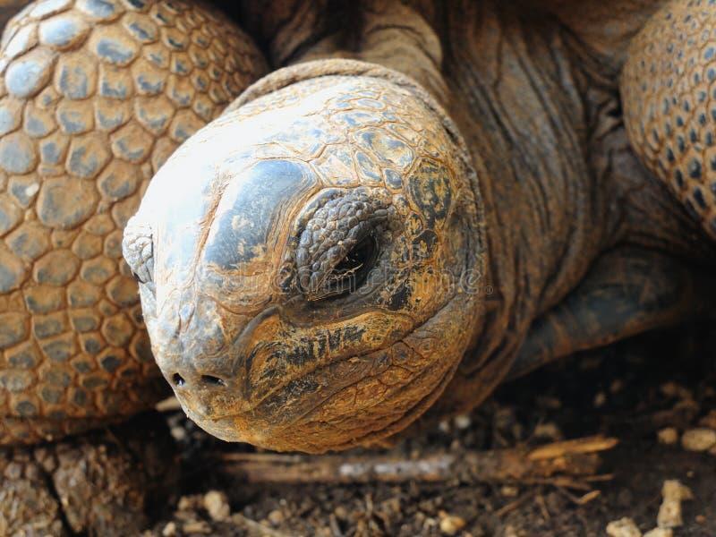 Big Aldabra tortoise in Mauritius. royalty free stock photo