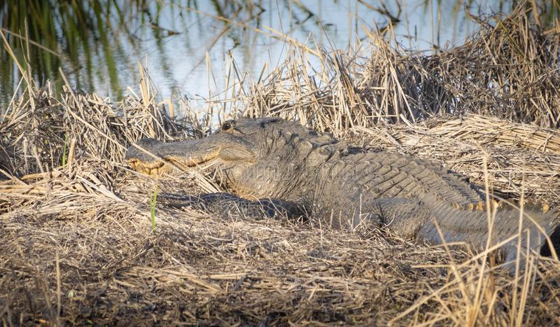 Big alligator resting on ground. Big alligator resting in a field royalty free stock images