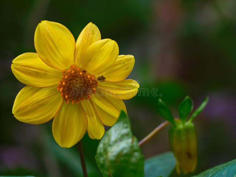 Big alone yellow flower in the garden royalty free stock photo