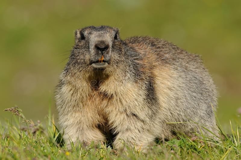 Download Big Alpine Marmot stock image. Image of alps, grassland - 32366101