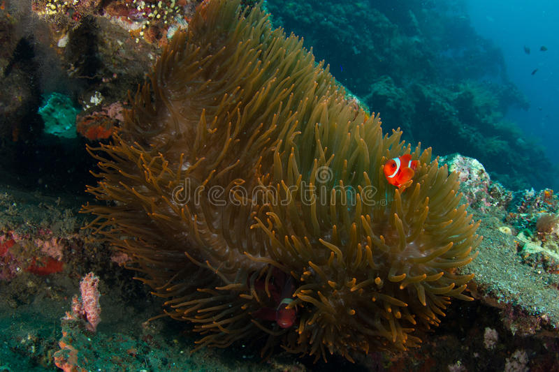 Download Big anemone with clownfish stock image. Image of marine - 21821687