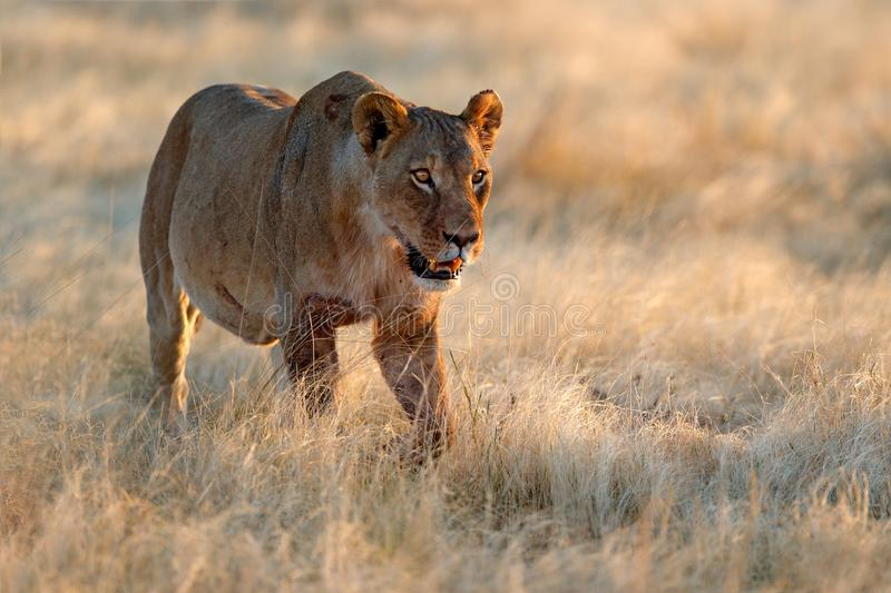 Big angry female lion in Etosha NP, Namibia. African lion walking in the grass, with beautiful evening light. Wildlife scene from royalty free stock photography