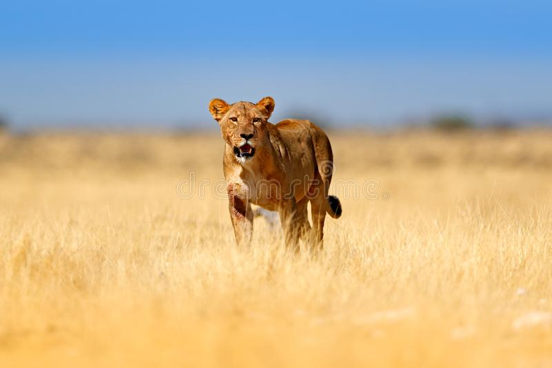 Big angry female lion in Etosha NP, Namibia. African lion walking in the grass, with beautiful evening light. Wildlife scene from stock photo