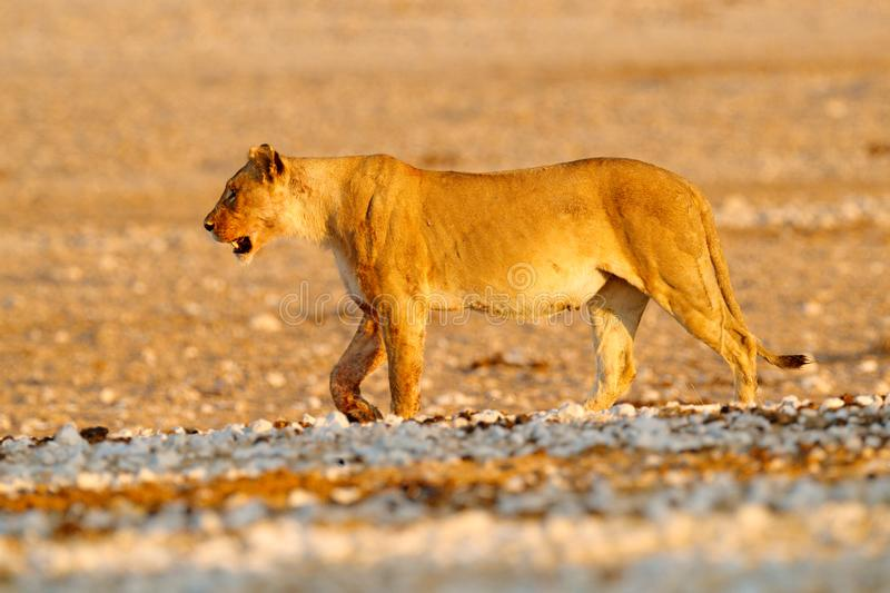 Big angry female lion in Etosha NP, Namibia. African lion walking in the grass, with beautiful evening light. Wildlife scene from. Nature. Animal in the habitat stock images