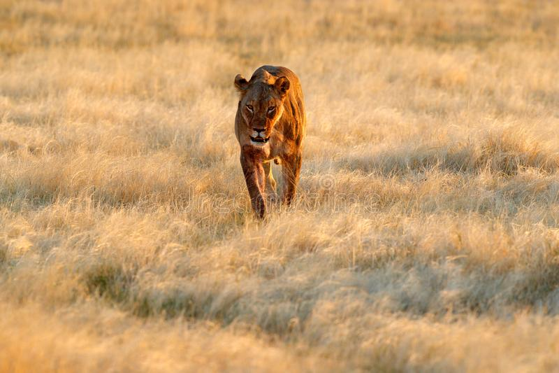 Big angry female lion in Etosha NP, Namibia. African lion walking in the grass, with beautiful evening light. Wildlife scene from royalty free stock photo