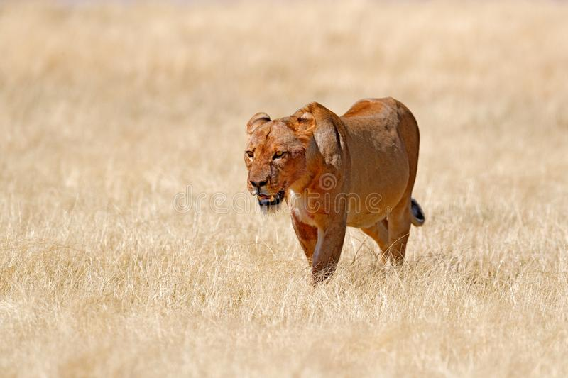 Big angry female lion in Etosha NP, Namibia. African lion walking in the grass, with beautiful evening light. Wildlife scene from stock photos