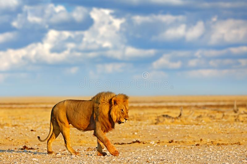 Big angry male lion in Etosha NP, Namibia. African lion walking in the grass, with beautiful evening light. Wildlife scene from stock photo