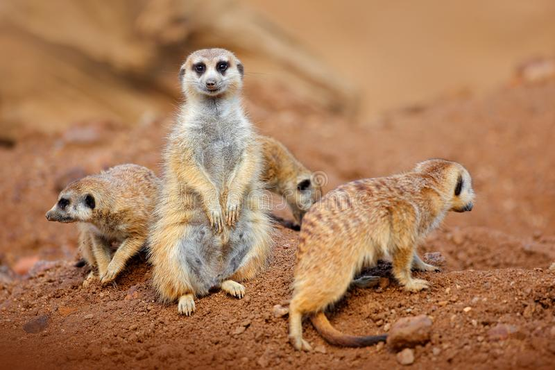 Big Animal family. Funny image from Africa nature. Cute Meerkat, Suricata suricatta, sitting on the stone. Sand desert with small royalty free stock photo
