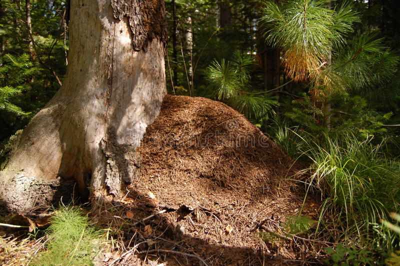 The big ant hill in a coniferous wood royalty free stock photos