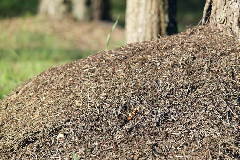 Big ant hill in the forest royalty free stock images
