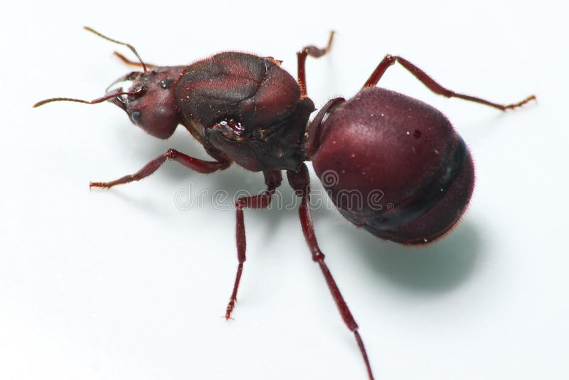 Big ant Tanajura royalty free stock photography