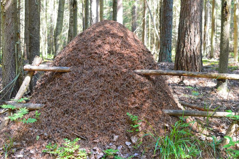 Big anthill in the fir forest stock images